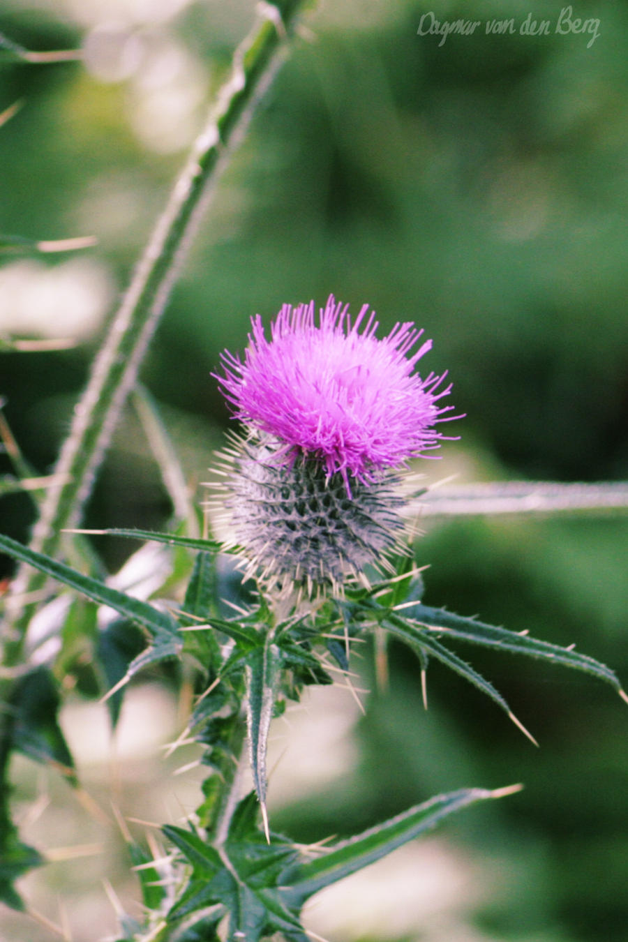 Thistle 4 by dagmaretjuh
