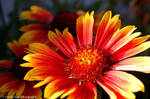 Gaillardia Flower Close Up