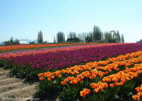 Tulip Field by sweetcivic