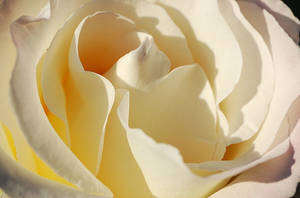 White Rose Close-up by sweetcivic