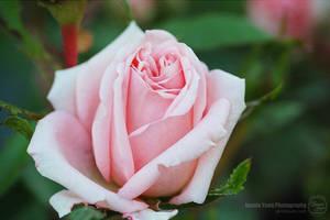 Beautiful Pink Rose by sweetcivic