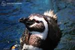 Swim Little Penguin