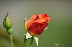 Hybrid Tea Rose by sweetcivic