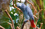 African Grey Congo Parrot
