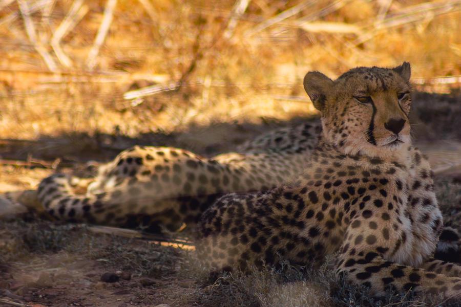 Cheetah by icmb94