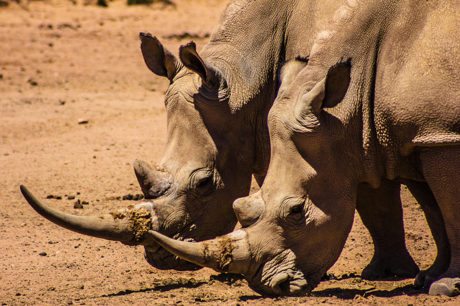 White Rhinos by icmb94