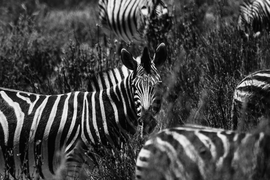 Zebra by icmb94
