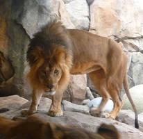 Lion Stock I by Melyssah6-Stock
