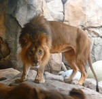 Lion Stock I