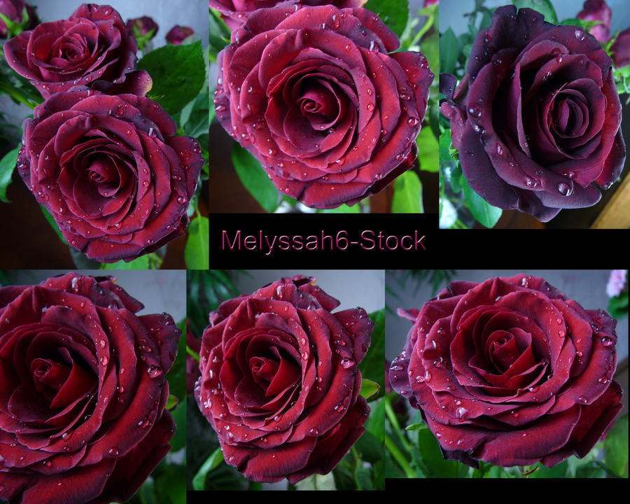 Water Droplets Rose Stock 2 by Melyssah6-Stock
