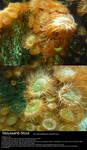 Sea Anemone Stock 2 by Melyssah6-Stock
