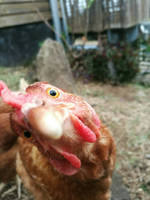chicken by ikafox