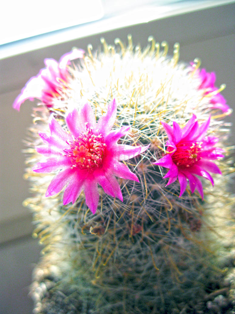 Large Cactus Small Pink Flowers By Didymi On Deviantart