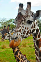 Reticulated and Maasai Giraffes by shadowdion
