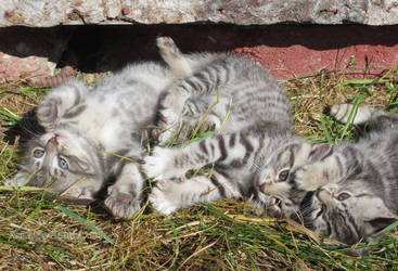 Kitten Sibling Free-For-All by arilla