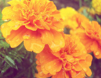 Marigolds For You...