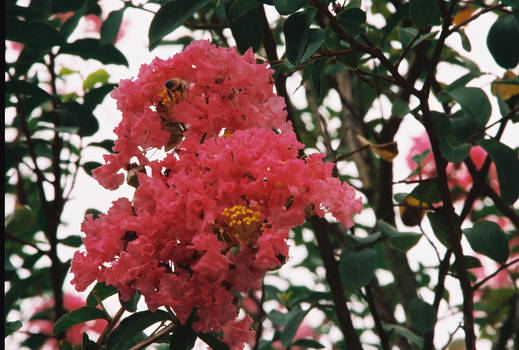 Crepe Myrtle and Bee