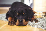 12 weeks old rottweiler