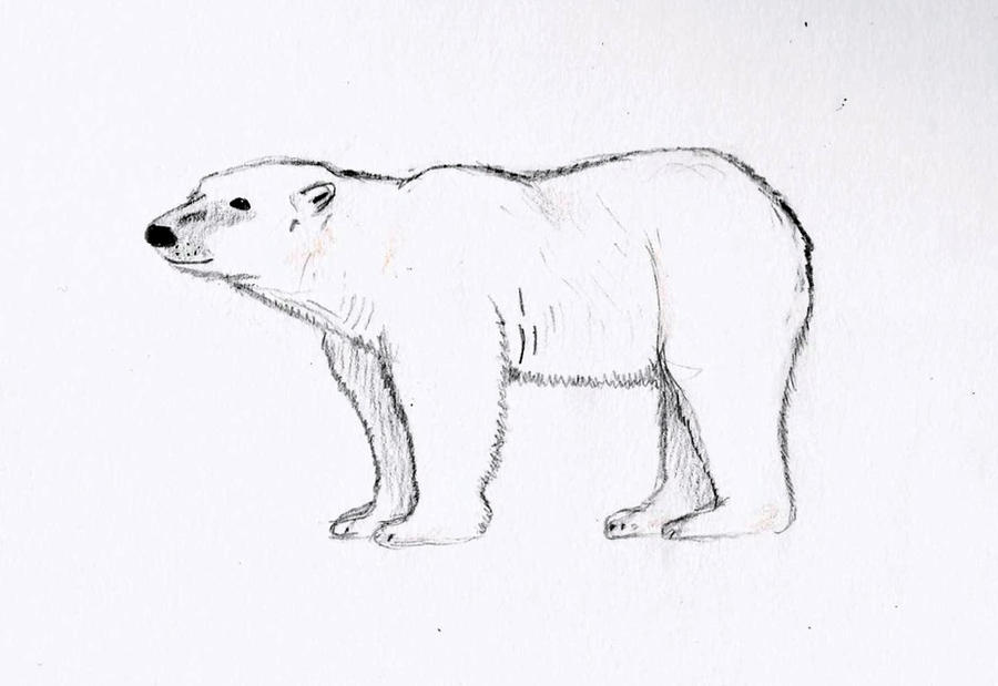 Polar Bear Sketch By Wickedlovelyfaery On DeviantArt