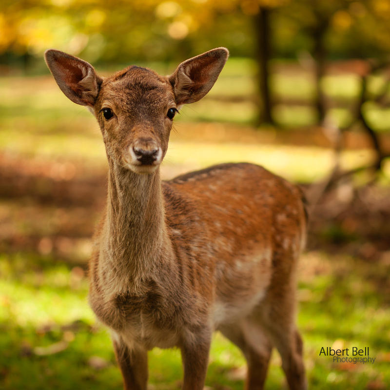 Bambi by BellPhotography