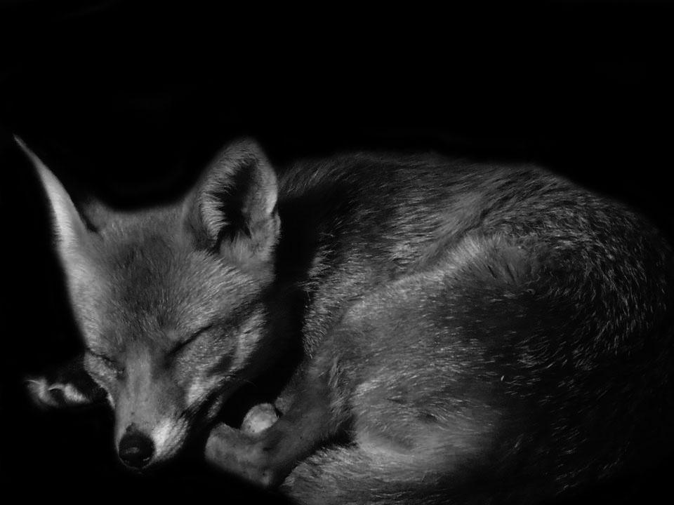 Sleeping Fox by AndrewElliott