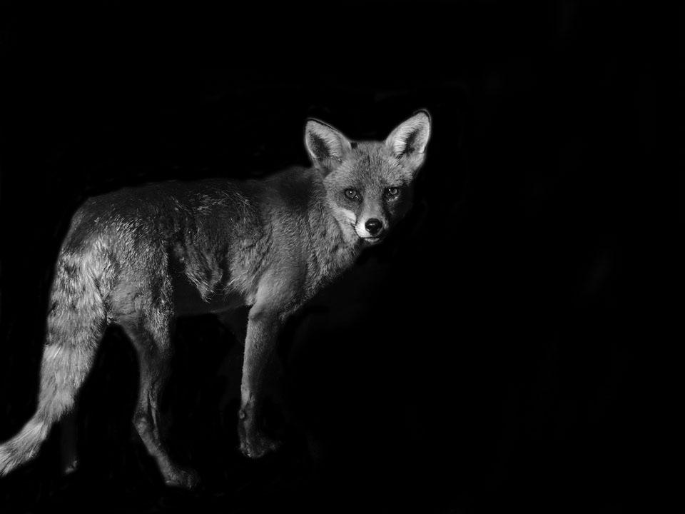 Curious Fox by AndrewElliott