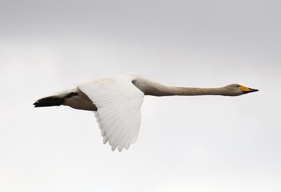 Whooper Swan 01 by nordfold