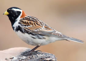 Lapland Bunting 03 by nordfold