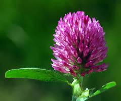 Trifolium pratense by nordfold