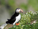 Atlantic Puffin 04