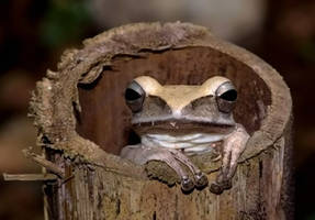 Frog in Bamboo by nordfold
