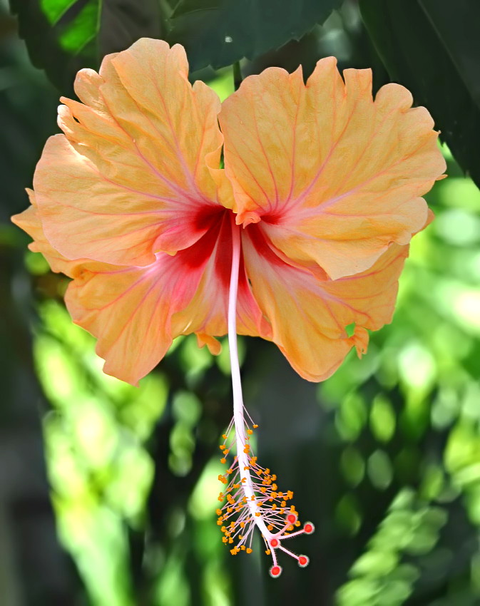 Hibiscus II by nordfold