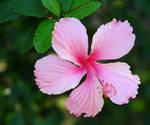 Hibiscus VIII