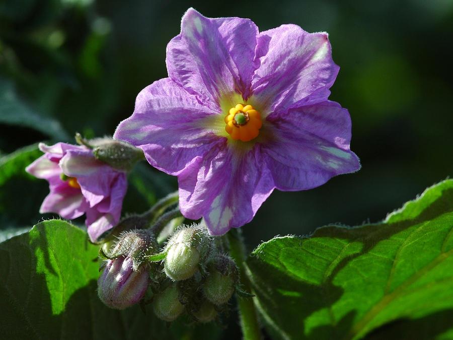 Potato Plant Fl...