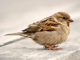 House Sparrow 05 by nordfold