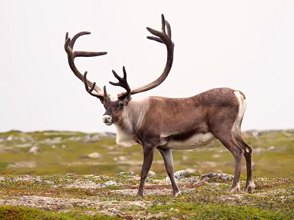 Rangifer tarandus Caribou, reindeer http://fc06.deviantart.net/fs70