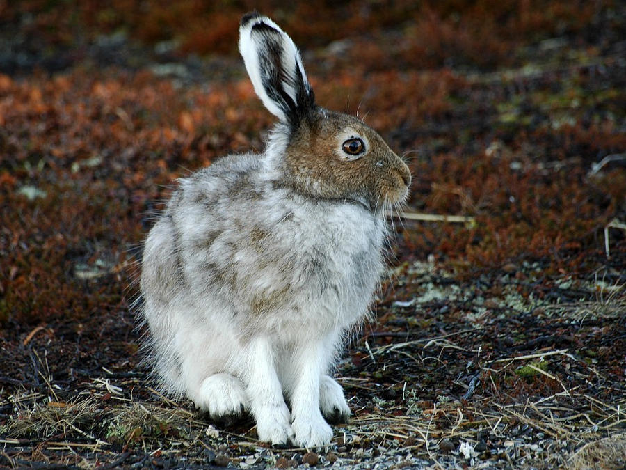 Lepus timidus V by nordfold