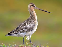 Bar-tailed Godwit II by nordfold