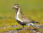 Eurasian Golden Plover 03 by nordfold