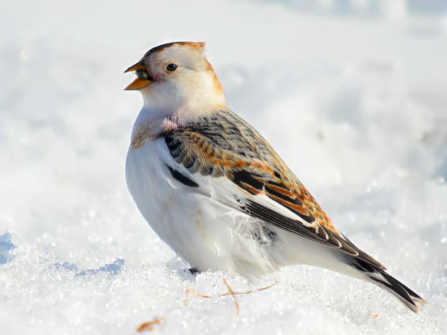 snow bunting 03 by nordfold d4y5dfo