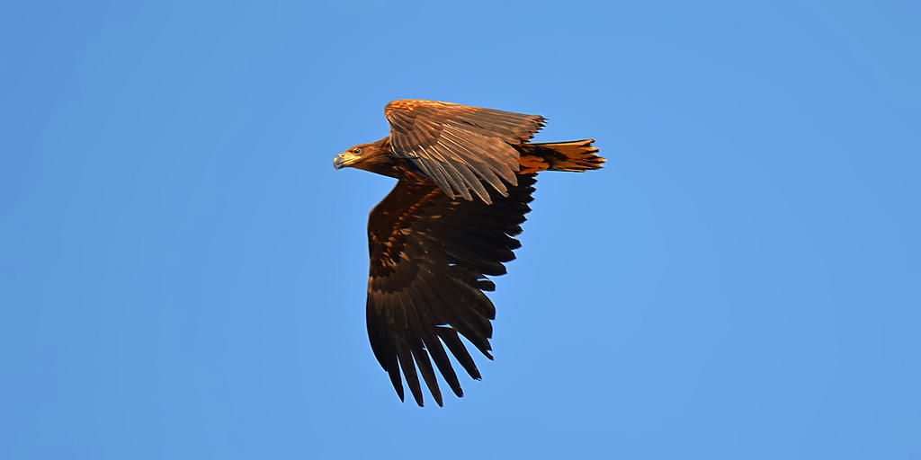 White-tailed Eagle 05 by nordfold