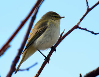 Willow Warbler by nordfold