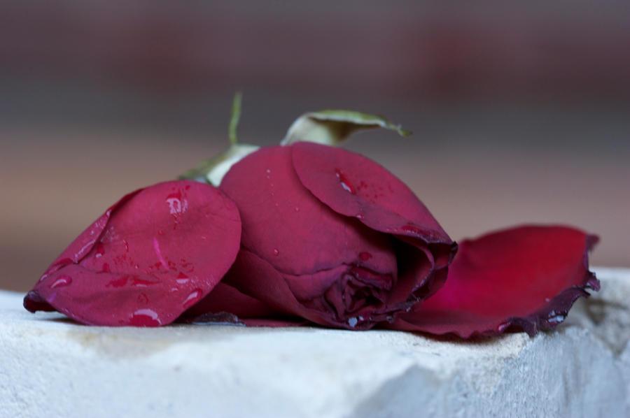 dead rose 2 by bookscorpion on deviantart