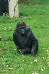 Gorilla schratching by bookscorpion