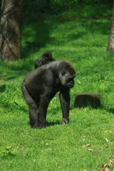 Gorilla walking by bookscorpion