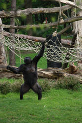 Gorilla throwing 1 by bookscorpion