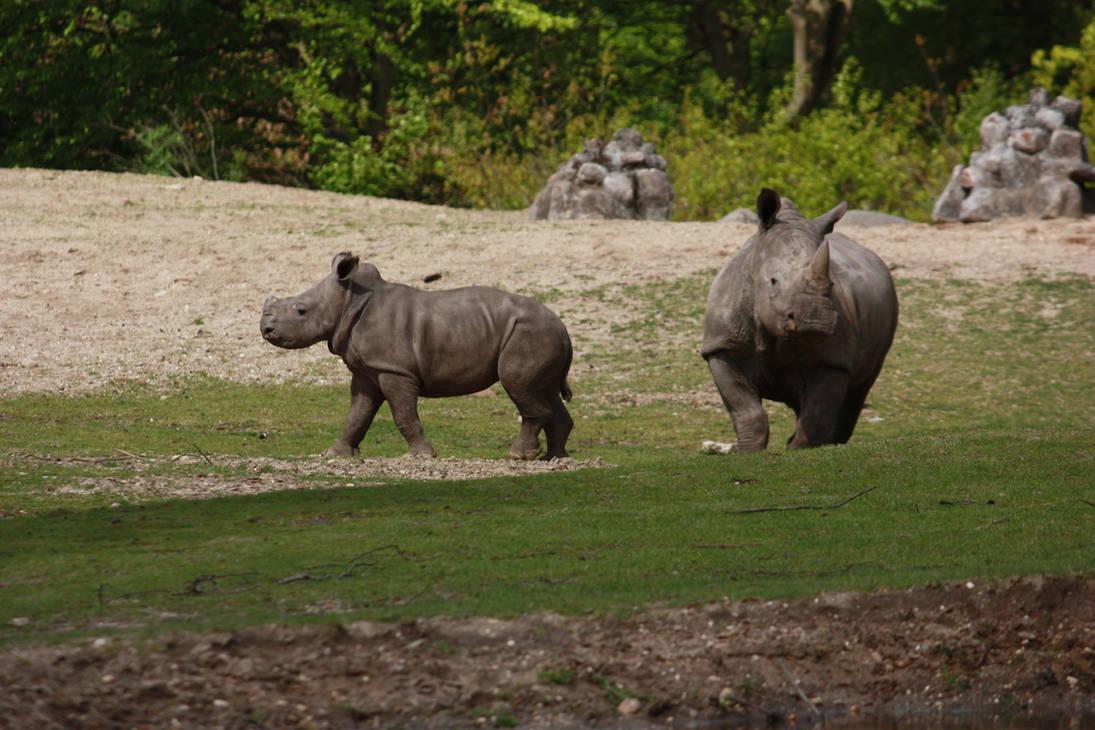 Baby Rhino walking by bookscorpion