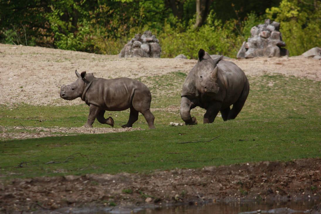 Baby rhino walking 2 by bookscorpion