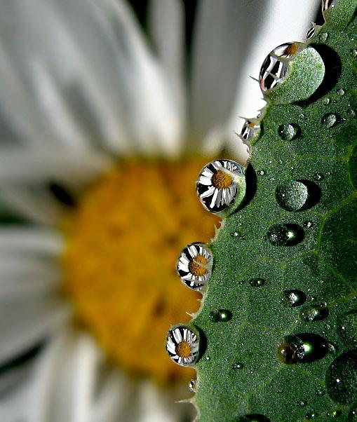 daisy drops by hugara