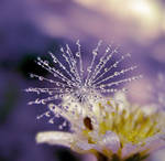 dandelion 15